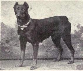 dobermann_pinscher_from_1915